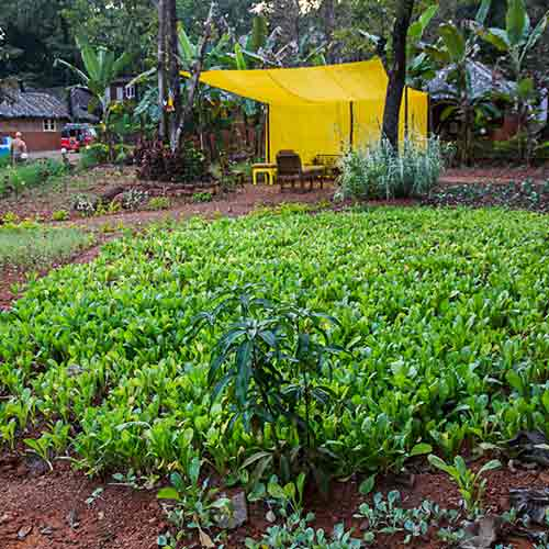 organic garden at swan yoga goa